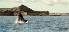Argentina Tourism, Patagonia, Peninsula Valdes, Costa, Whale, Travel Blog, Amazing, Html, Animals