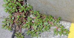 Alors que beaucoup d'entre nous les considèrent comme étantdemauvaises herbes inutiles, elles sonten fait plus utiles que vous pouvez l'imaginer.