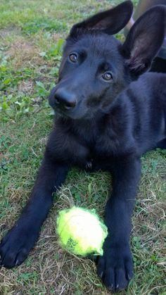 Black German Shepherd puppy Zenzi