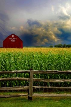 A summer storm gathers around Walnut Farm's barn and the tall and elegant golden topped corn eagerly awaits the welcomed rain.