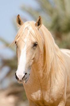 Most Beautiful Animals, Beautiful Horses, Palomino, Palamino Horse, Horse Photos, White Horses, Great Love, Equestrian, Creatures