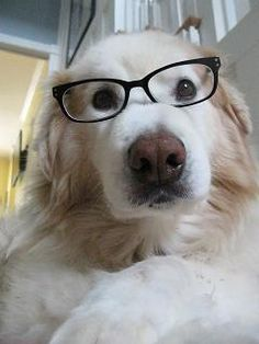 Wilson the Dog, wearing glasses. #ArloNeedsGlasses