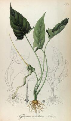 Rumphia, sive, Commentationes botanicæ¦ imprimis de plantis Indiæ¦ Orientalis. Lugduni Batavorum [Leiden, the Netherlands] :[s.n.],1835-48. biodiversitylibrary.org/page/41040056