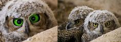 FAKE: The owl on the left has been photoshopped to create the green, cross-eyed look. The image on the right is the original by Ken Bosma