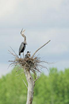 Wildlife calls - great blue heron
