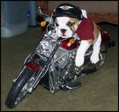 Bad to the bone dog! This reminds me of that stuff dog we used to have like this, the one I have now :)