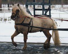 Skarshaugs Shaman:  3 year old Nordland/Lyngen horse stallion.