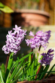 hyacinths in spring | Lisa Hjalt