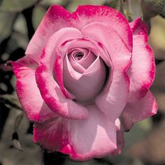 """Paradise Hybrid Tea Rose- 3-4'Hlight, fruity scented 4"""" blooms, continually blooming, easy to grow, disease resistant. Zone 5"""