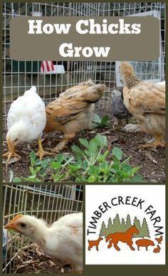 Learn how chicks grow.