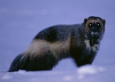 With less than 300 wolverines remaining in the lower 48 states, the decision to protect the few that remain should be easy. Yet Director Dan Ashe's FWS has instructed its scientists to reverse their recommendation to protect American wolverines under the Endangered Species Act. This is political interference at its worst! Tell Director Ashe to listen to science—not politicians! PLZ SIGN AND SHARE! http://action.endangered.org/p/dia/action3/common/public/?action_KEY=18029