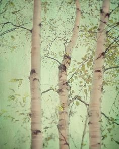 Birch trees... by EyePoetryPhotography