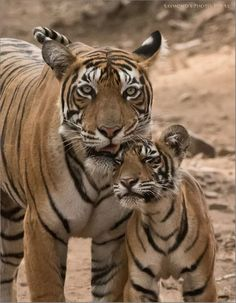 Tiger mom and cub....basking in mothers love...tell me again animals don't have feelings...nope...don't believe you..this picture says very much love <3