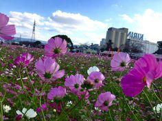 キリンビール工場の秋桜☆ 2015
