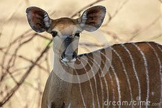 Photo about Portrait of a female Nyala. Image of ears, horns, conservation - 43601018 Conservation, Horns, Giraffe, Southern, Africa, Stock Photos, Female, Portrait, Animals