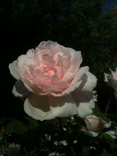 Madame Alfred Carriere (Noisette) 1879.  Outstanding rose with lovely old tea rose fragrance. A profuse bloomer.