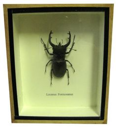 Real Exotic STAG Beetle- Taxidermy Collection Framed in a Wooden Box As Pictured by Yaki Yak Wall Decor. $24.99. This is a real taxidermy insect specimen is mounted and labeled in a wooden box. It can be mounted on a wall or display it on a shelf. This is a beautiful stag beetle.   This will make a great educational decor for your child!  It's a piece to WOW anybody.. Save 37% Off!