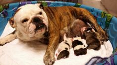 ❤ Beautiful new mom ~ with beautiful pups ❤  Posted on Bulldog Pics