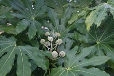 Japanese aralia Fatsia japonica: 4 x 4m, good contrast with ferns.  Good in shade.