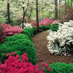 Azaleas in the spring.  I love the south.