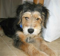 Terrier-wrong coloring. Looks like Cabo wearing a wig, but has her face