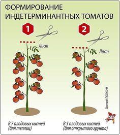 ПОМИДОРНАЯ НАУКА. ВАРИАНТЫ ФОРМИРОВАНИЯ ТОМАТНЫХ КУСТОВ | Дачный сад и огород