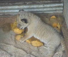 Liger Cubs Survival in China from the Tigress named as Huan Huan.