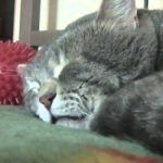 """This sweet cat sympathizes with her human so much that when he coughs that she """"quacks"""" in response. Although, it seems she doesn't feel it's necessary to disturb her nap and get up and check on him.-) Share this cute cat video with your friends! Grey Kitten, Grey Cats, Funny Picture Quotes, Funny Pictures, Greatest Mysteries, Cute Cat Gif, Cat Sleeping, Cute Cases, Make You Smile"""