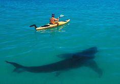 Great White Shark & Kayak Looks like Shark Week! Orcas, Megalodon, Tier Fotos, Mundo Animal, Shark Week, Ocean Life, Marine Life, Sea Creatures, Belle Photo