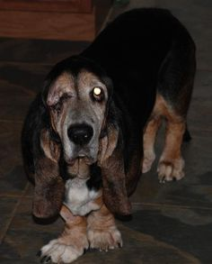 """I love the idea behind Senior Houndsabound!  They rescue """"senior"""" dogs that people won't adopt because they are too old and give them a nice, comfortable, """"senior"""" life!"""