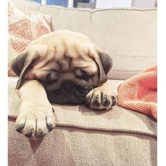 😴😴😴 #pugs #pugsofIG #cupcakepugs #pugsnotdrugs #cute #puppy #puppies #dog #instadog #thetomcoteshow #pugnation #anotherpug #pugoftheday #obsessedwithpug #pug #frankthepughero #pugbasement #qtpugs #worldofpug #pugloversofinsta #sleepingdogs