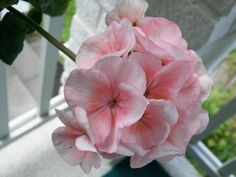 Pelargonium First Love