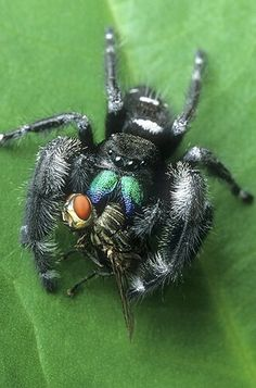 Jumping Spider Munching on a Fly Cool Insects, Bugs And Insects, Pet Tarantula, Cool Bugs, Itsy Bitsy Spider, Insect Photography, Jumping Spider, A Bug's Life, Beautiful Bugs