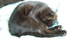 Meggy is a perfect fold #Browncat