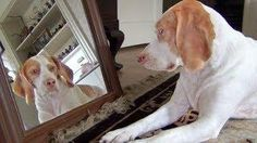 #Dog Checking Himself Out On The Mirror - #funny