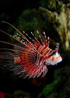 baby Tiger Fish also called the lion fish. Life Under The Sea, Under The Ocean, Sea And Ocean, Pacific Ocean, Underwater Creatures, Underwater Life, Underwater Tattoo, Colorful Fish, Tropical Fish