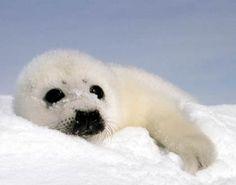 Harp Seal Pup II