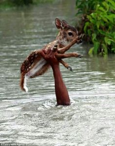 A man saving a fawn from flood waters.