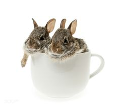 ᏰᏋαųɬįʄųℓ ᎯиįɱαℓᎦ (Two baby cottontail bunny rabbits in cup by Elena Elisseeva)
