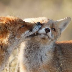 Red Foxes by Roeselien Raimond - thrumyeye