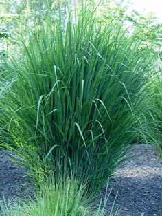 Green Tall Switchgrass Plants : Growing Switchgrass Plants In The Yard