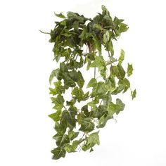 <div>Create beautiful spaces. Use this popular ivy to add a striking touch of greenery to your h...