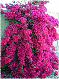 Bougainvillea 'Barbara Karst' growing in a container in my back yard Bougainvillea, My Secret Garden, Plantation, Gras, Dream Garden, Trees To Plant, Garden Plants, Fruit Garden, Garden Trees