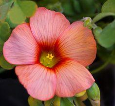 Oxalis obtusa 'Spring Charm Orange' [Family: Oxalidaceae] - by HIRO.M.