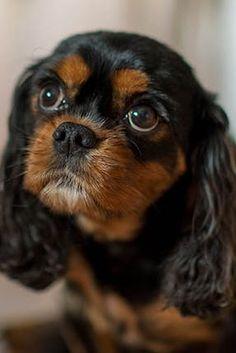 Cavalier King Charles Spaniel Information - Dog Breeds at thepetowners Cavalier King Spaniel, Cavalier King Charles Dog, King Charles Spaniel, Rei Charles, Cute Puppies, Cute Dogs, Sweet Dogs, Spaniel Puppies, Cavachon Puppies