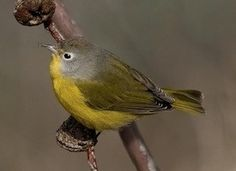 Nashville Warbler (Aug 2017) Enjoying the bird bath