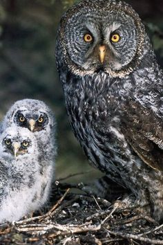 Great Gray Owl Family.