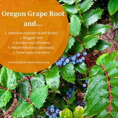 Oregon Grape Root Materia Medica // from Herbal Remedies Advice / Plant Medicine <3