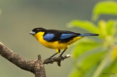 BLUE- WINGED MOUNTAIN TANAGER by Christian Sanchez on 500px