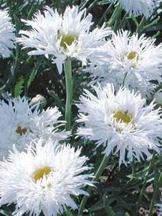 This gorgeous white daisy grows in zone Low growing, good for front of borders. Leucanthemum 'Aglaia' Shasta Daisy: Full Sun, perennial, blooms all summer if deadheaded, divide every years. So fluffy & pretty!